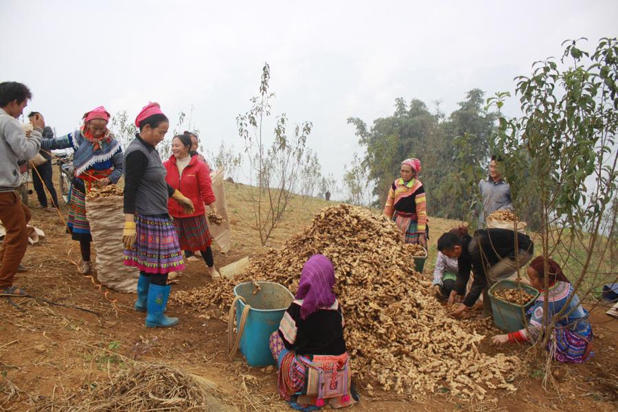 Hà Giang: Thứ củ vừa cay vừa thơm tăng giá, ở Suôi Thầu có ông nông dân thu cả trăm triệu - Ảnh 1.