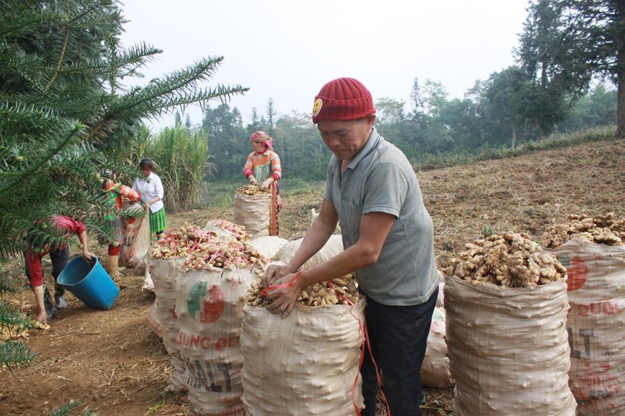 Hà Giang: Thứ củ vừa cay vừa thơm tăng giá, ở Suôi Thầu có ông nông dân thu cả trăm triệu - Ảnh 2.