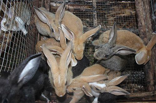 Bình Thuận: Nuôi loài thỏ có màu lông lạ, body bé nhỏ mà tai dài như tai dê, chưa lớn đã có người đòi mua - Ảnh 1.