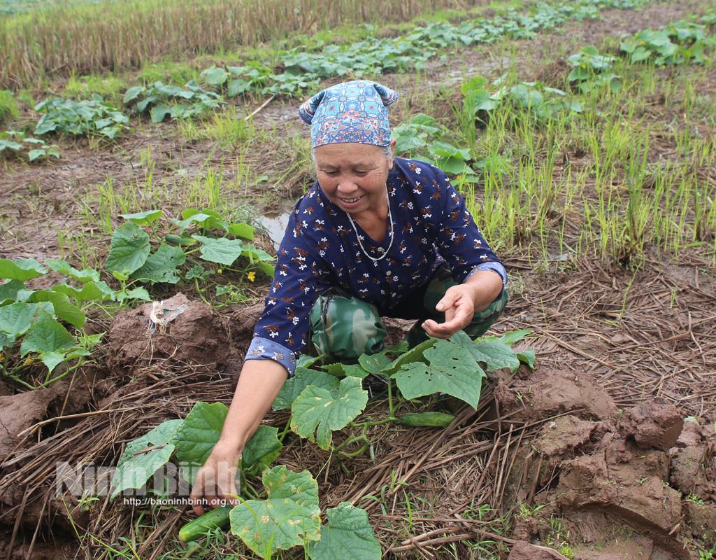 Ninh Bình: Trồng dưa chuột bò mặt đất, trồng như chơi mà thu hàng tấn trái, lời gấp 5-6 lần so với cấy lúa - Ảnh 1.
