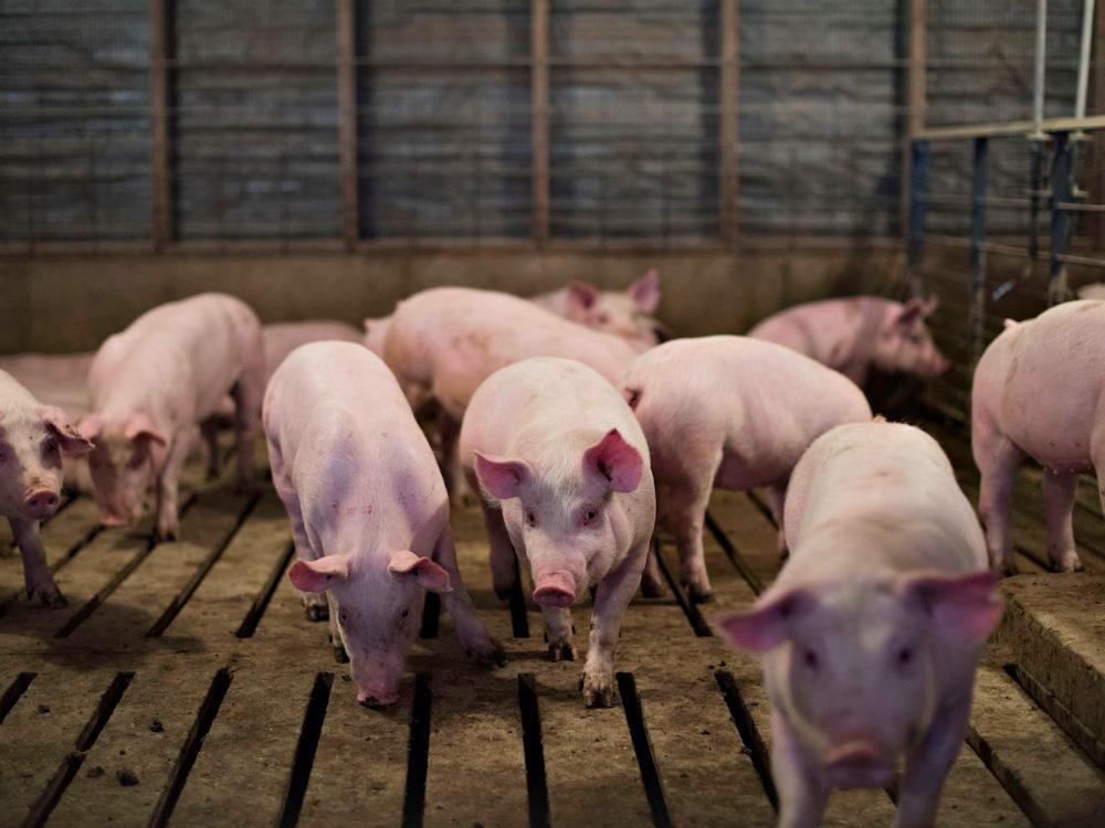 Giá lợn hơi hôm nay (27/11): Nhiều địa phương giữ giá sau đà tăng mạnh hôm qua - Ảnh 3.