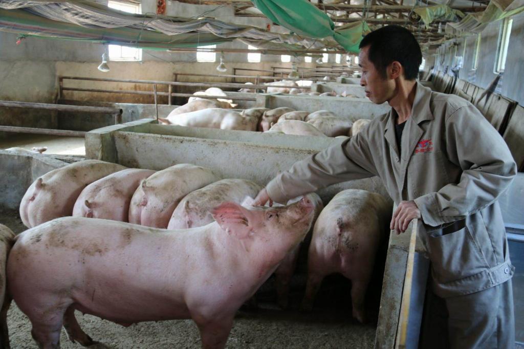 Giá lợn hơi hôm nay (27/11): Nhiều địa phương giữ giá sau đà tăng mạnh hôm qua - Ảnh 1.