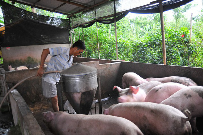 Giá lợn hơi hôm nay (28/11): Miền Bắc tăng ở một số tỉnh thành - Ảnh 1.