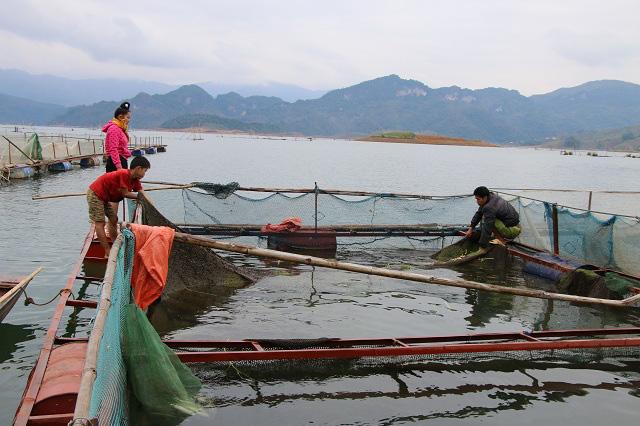 Nông dân Quỳnh Nhai khấm khá nhờ nghề nuôi cá lồng - Ảnh 1.