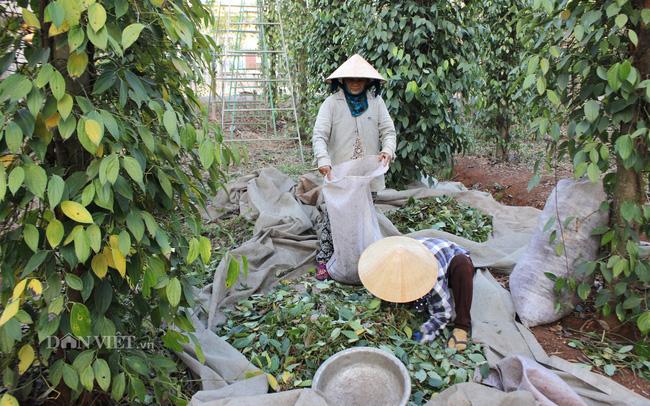 """Giá tiêu tiến sát 60.000 đồng/kg, """"ông trùm"""" xuất khẩu hồ tiêu Việt Nam khuyên gì? - Ảnh 1."""