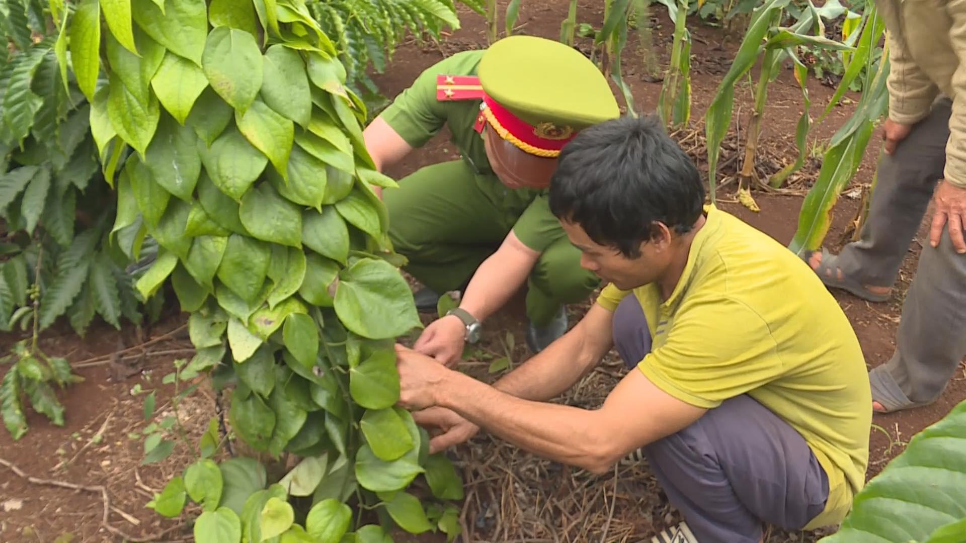 Đắk Lắk: Bắt đối tượng phá hoại cây trồng của người dân  - Ảnh 2.