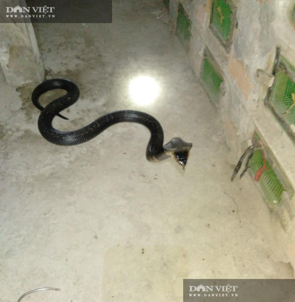 Có gì bên trong trại nuôi rắn hổ mang quy mô lớn ở tỉnh Sóc Trăng? - Ảnh 3.