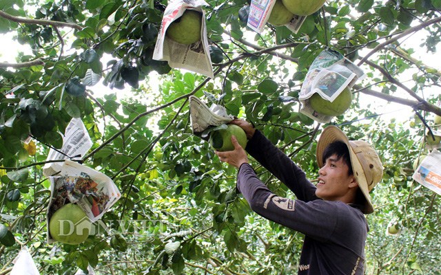Nhà nông Đồng Nai thấp thỏm  với vụ bưởi tết  - Ảnh 1.