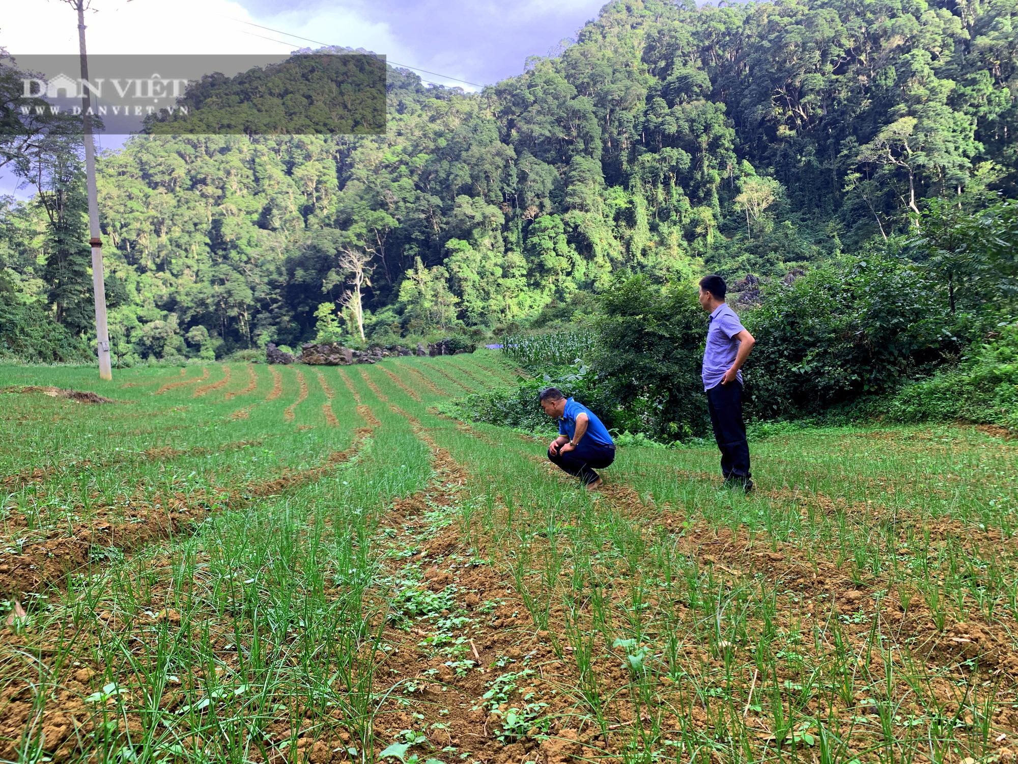 Tránh để phí đất, nông dân Bắc Kạn mang loài cây này về trồng, có thêm thu nhập, không lo đầu ra - Ảnh 7.