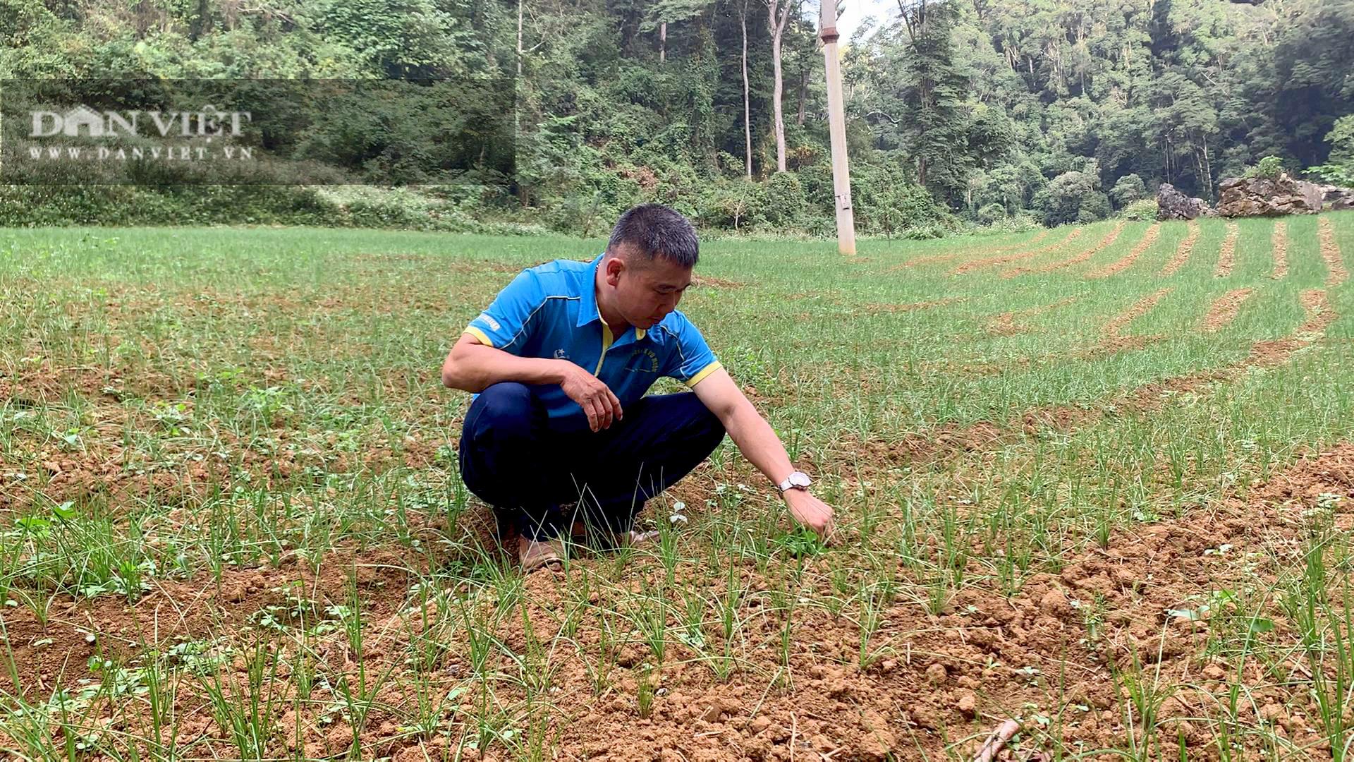 Tránh để phí đất, nông dân Bắc Kạn mang loài cây này về trồng, có thêm thu nhập, không lo đầu ra - Ảnh 3.