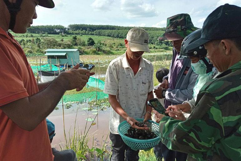Phú Yên: Nuôi 400.000 con ốc nhồi đặc sản trong ao đất, thử vớt 1 rổ lên bao nhiêu người đến xem - Ảnh 1.