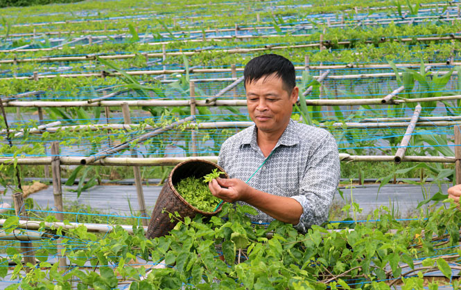 Thái Nguyên: Trồng cây lạ leo tràn lan, ra thứ hoa đặc sản bán đắt tiền, ông nông dân này bất ngờ giàu hẳn lên - Ảnh 1.