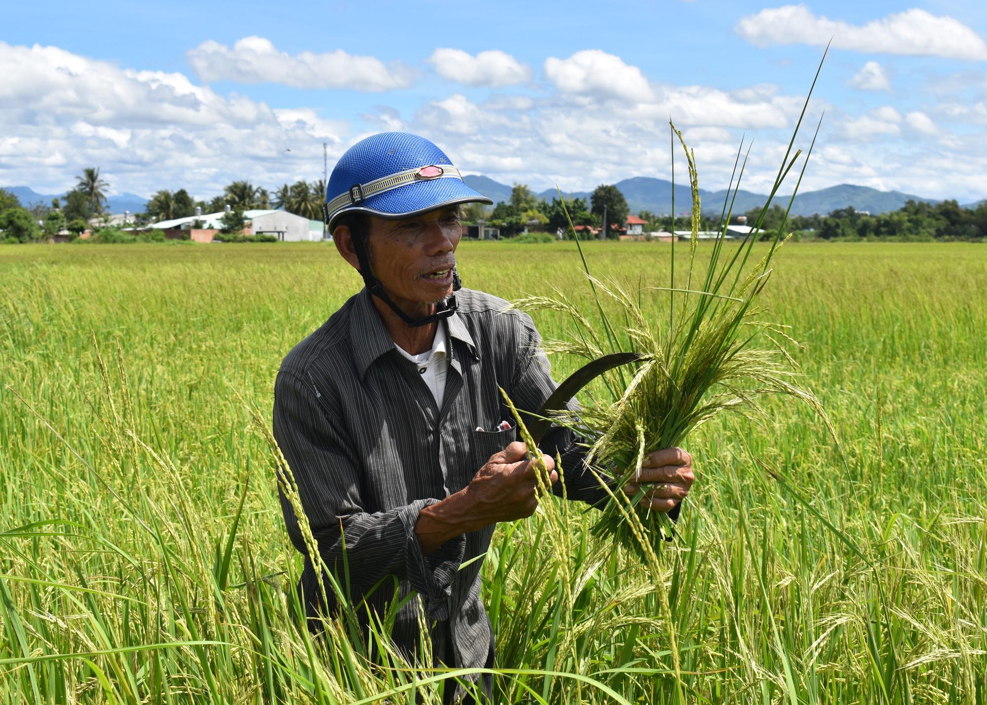 Kon Tum: Ở nơi này, nông dân thành phố khốn đốn với thứ lúa ma, có ruộng lúa phải cắt về cho bò ăn chơi - Ảnh 2.