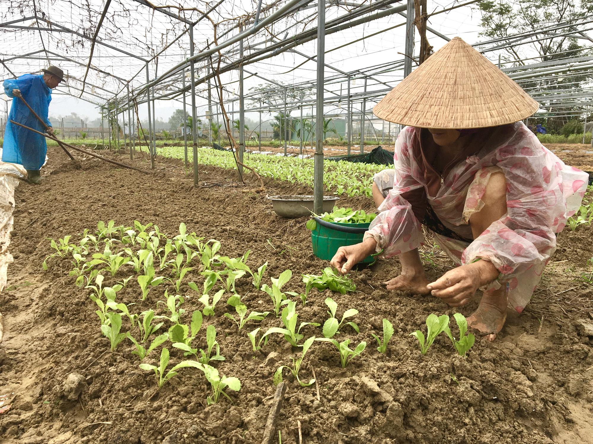 Đà Nẵng: Nông dân trồng rau thấp thỏm tái sản xuất sau mưa lũ dồn dập - Ảnh 2.