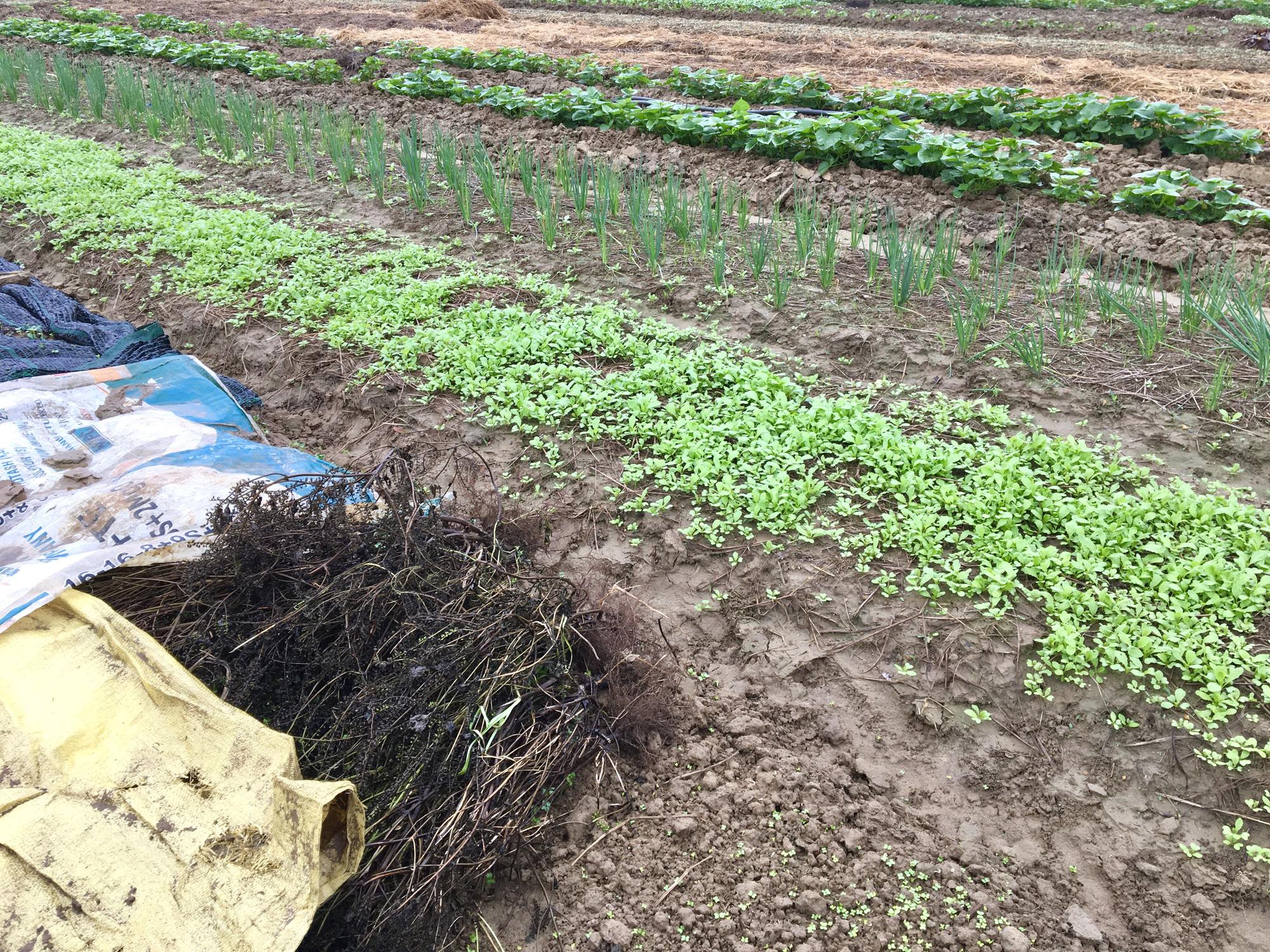 Đà Nẵng: Nông dân trồng rau thấp thỏm tái sản xuất sau mưa lũ dồn dập - Ảnh 3.