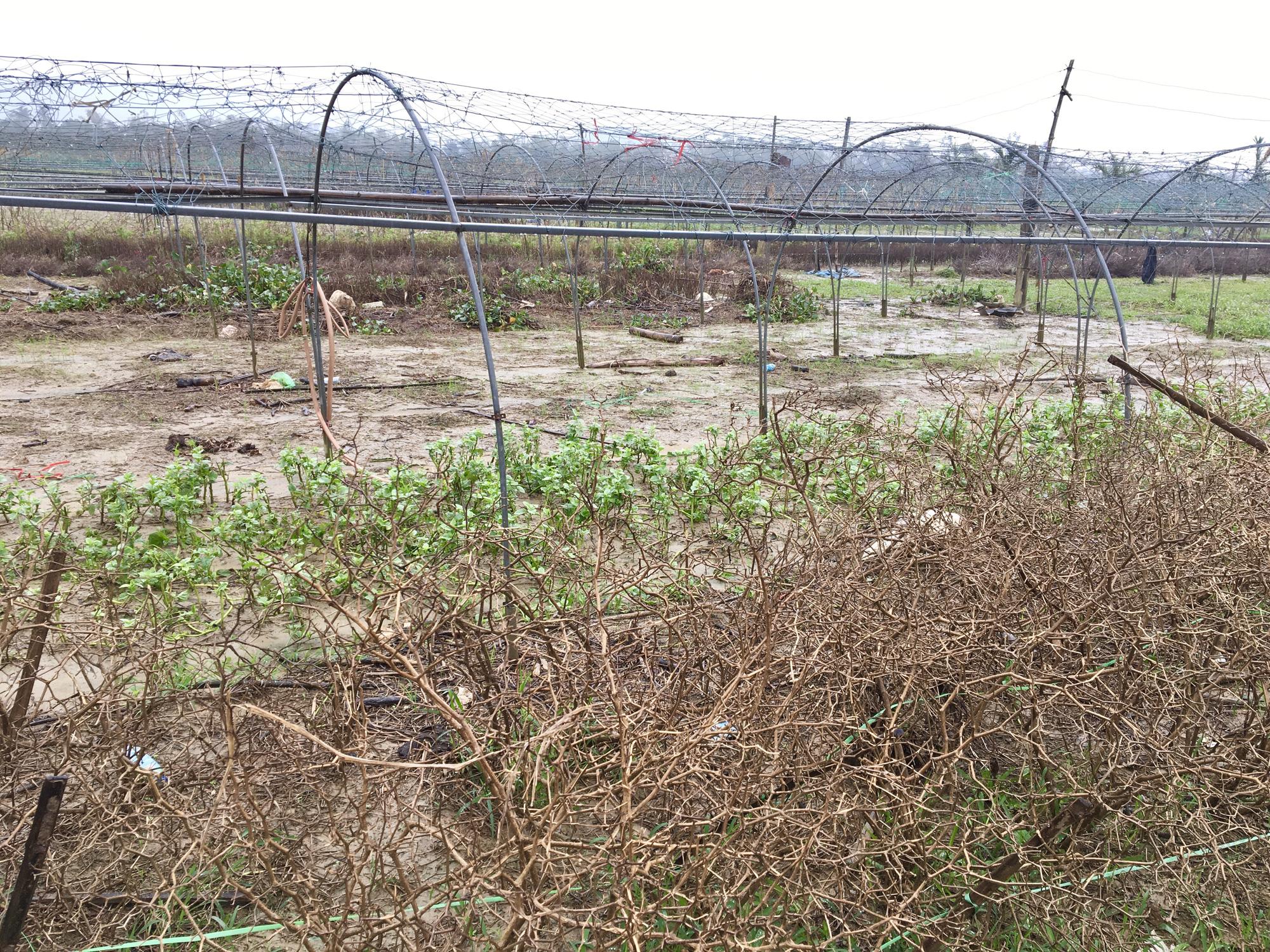 Đà Nẵng: Nông dân trồng rau thấp thỏm tái sản xuất sau mưa lũ dồn dập - Ảnh 5.