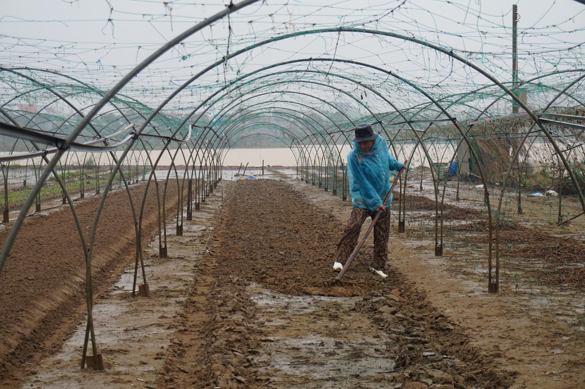 Đà Nẵng: Nông dân trồng rau thấp thỏm tái sản xuất sau mưa lũ dồn dập - Ảnh 4.