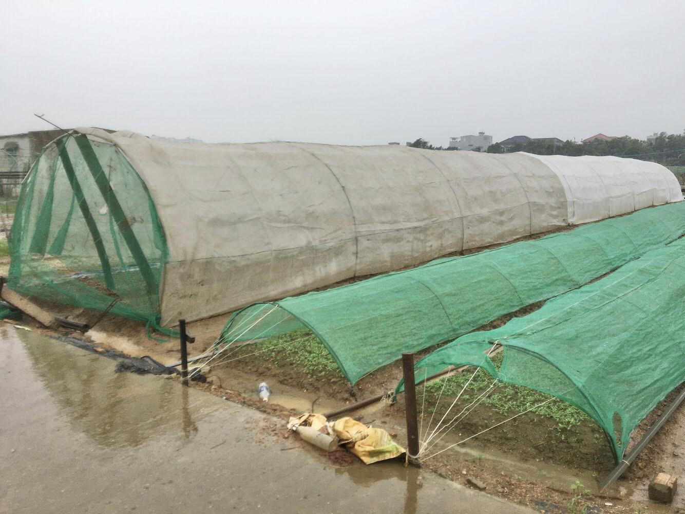 Đà Nẵng: Nông dân trồng rau thấp thỏm tái sản xuất sau mưa lũ dồn dập - Ảnh 6.