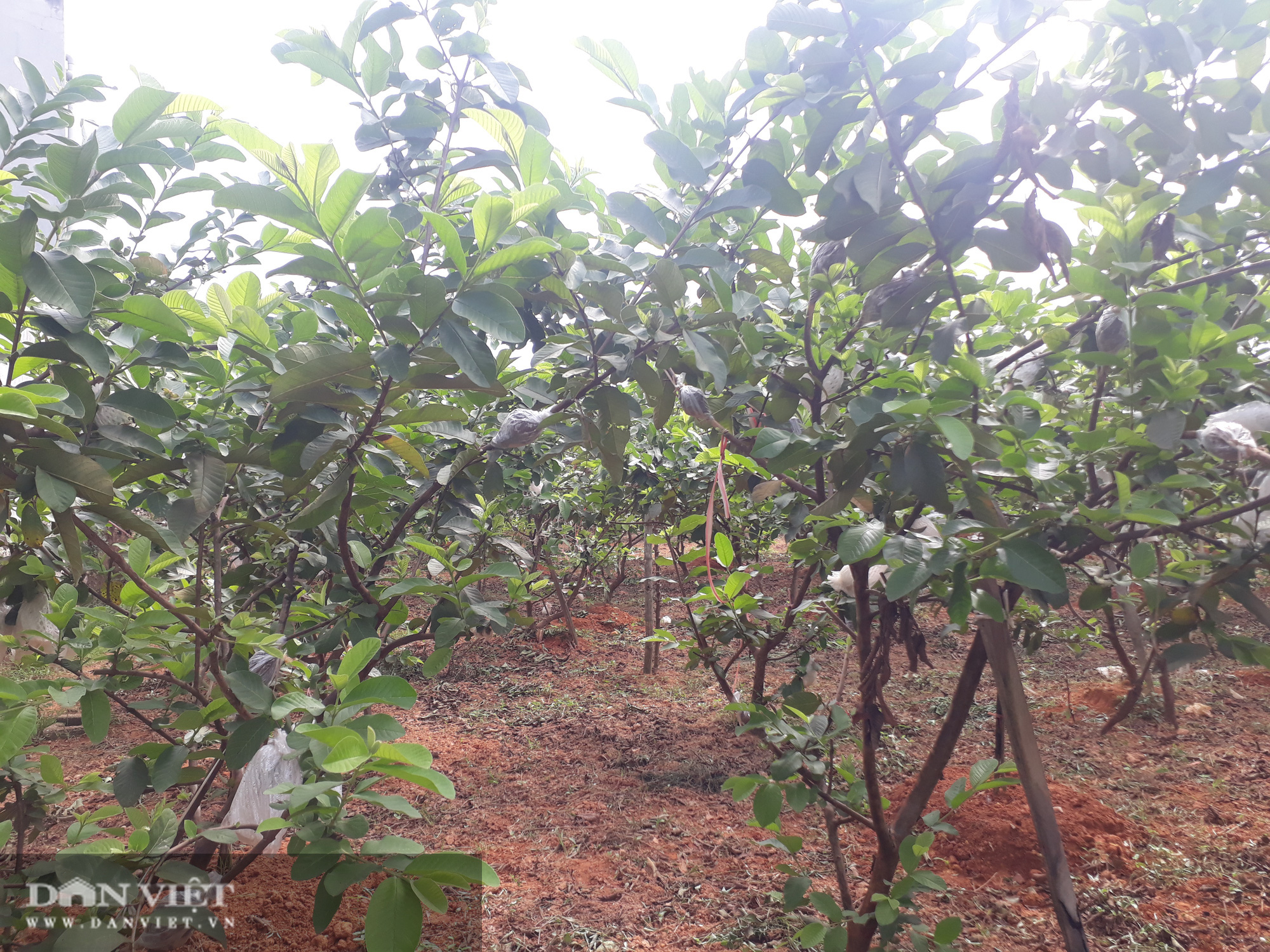Trồng cây ra quả ngọt quanh năm, vợ chồng anh nông dân Thái Nguyên thu hàng trăm triệu đồng mỗi năm  - Ảnh 1.