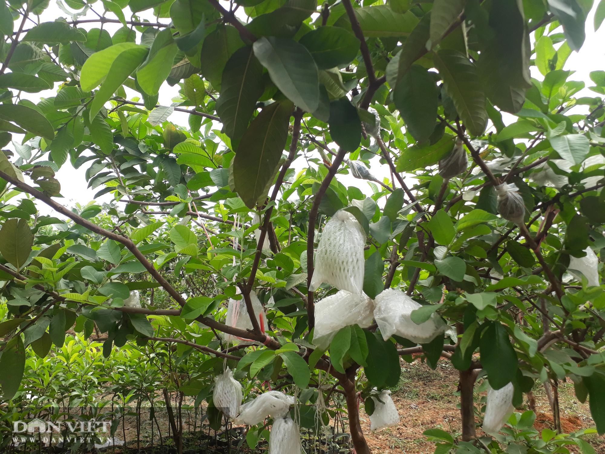 Trồng cây ra quả ngọt quanh năm, vợ chồng anh nông dân Thái Nguyên thu hàng trăm triệu đồng mỗi năm  - Ảnh 3.