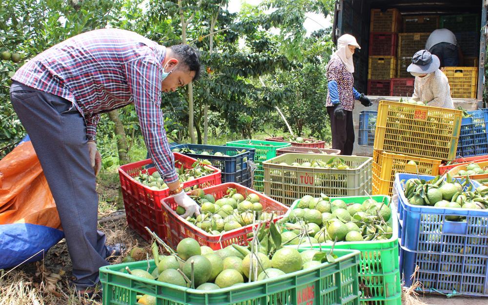 Bình Dương: Nông nghiệp hữu cơ nâng tầm cho trái cây đặc sản - Ảnh 3.
