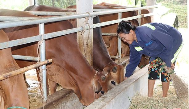 Tiếp vốn cho nhà nông nuôi bò vỗ béo hiệu quả - Ảnh 1.