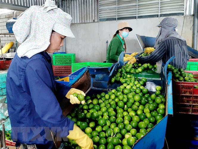 Long An: Đây là nông dân đầu tiên trồng chanh không hạt ở Việt Nam mà nên danh tỷ phú - Ảnh 3.