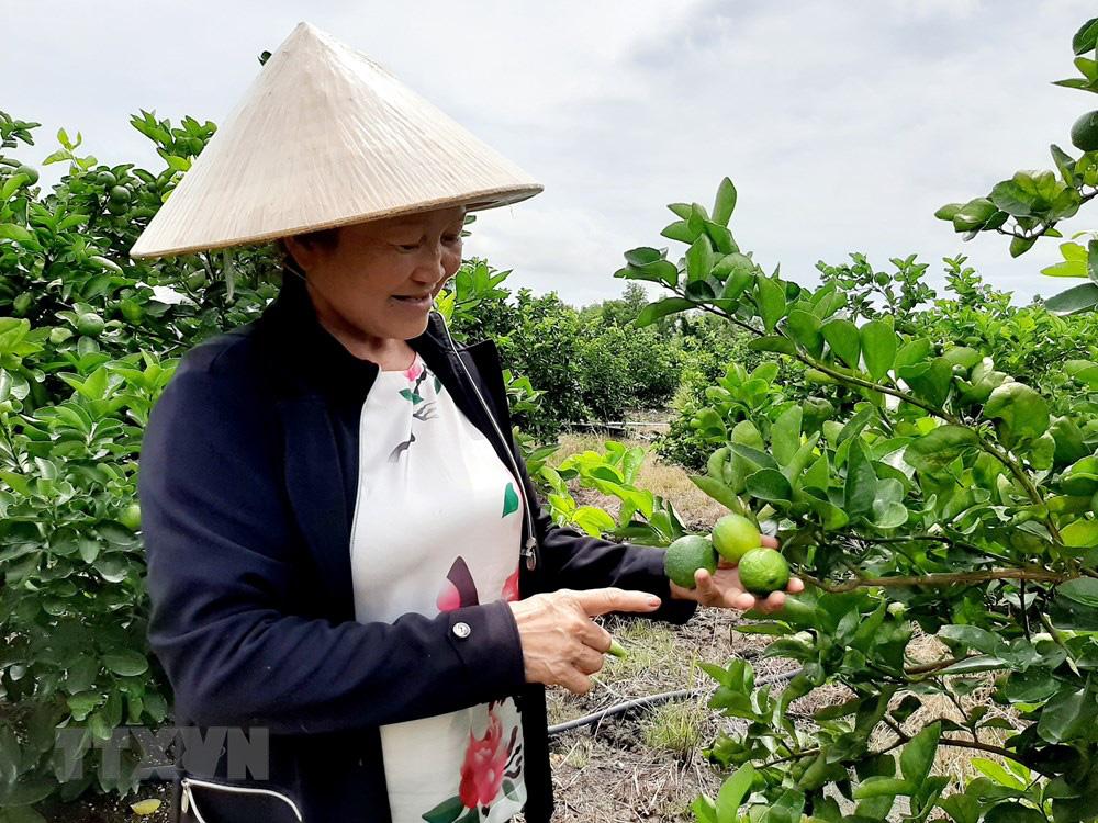 Long An: Đây là nông dân đầu tiên trồng chanh không hạt ở Việt Nam mà nên danh tỷ phú - Ảnh 4.