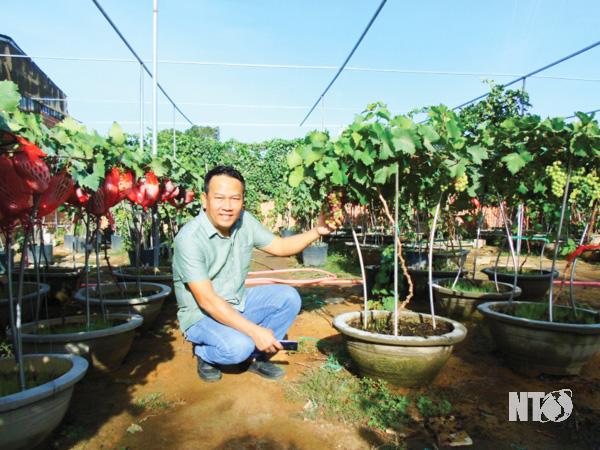 Ninh Thuận: Lạ, trồng nho cây thấp tè đã ra trái quá trời, ông nông dân này làm ra không đủ bán - Ảnh 3.
