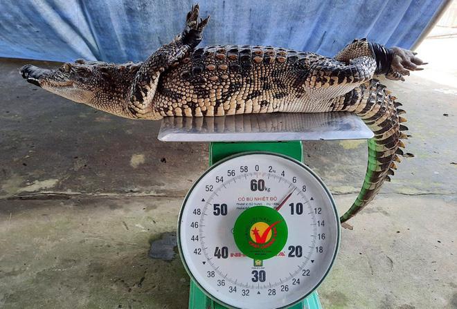 Nông dân Bạc Liêu bắt được cá sấu ngoài ruộng - Ảnh 1.