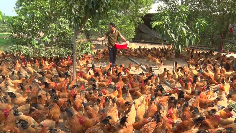 Quảng Trị: Gà Cùa không phải 1 giống gà mà thực ra là gà nuôi theo kiểu này ở huyện Cam Lộ - Ảnh 1.