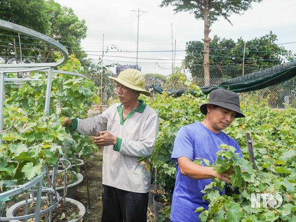 Ninh Thuận: Lạ, trồng nho cây thấp tè đã ra trái quá trời, ông nông dân này làm ra không đủ bán - Ảnh 1.