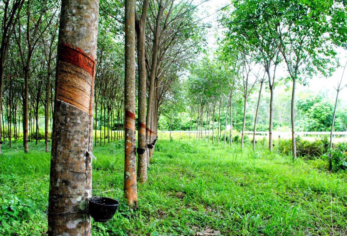 Đại biểu Quốc hội Gia Lai nói cây cao su thải khí CO2, chuyên gia ngành lâm nghiệp nói gì? - Ảnh 3.