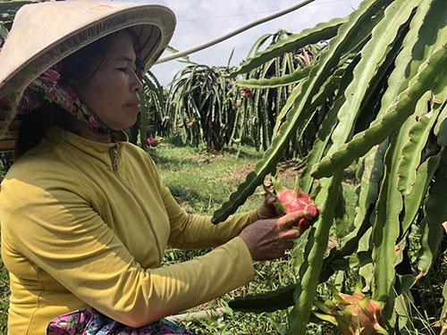 Đáng ngại, loài ốc này bò dày đặc, nông dân tỉnh Bình Thuận xịt thuốc, rải bả không ăn thua phải thức đêm bắt tay - Ảnh 1.