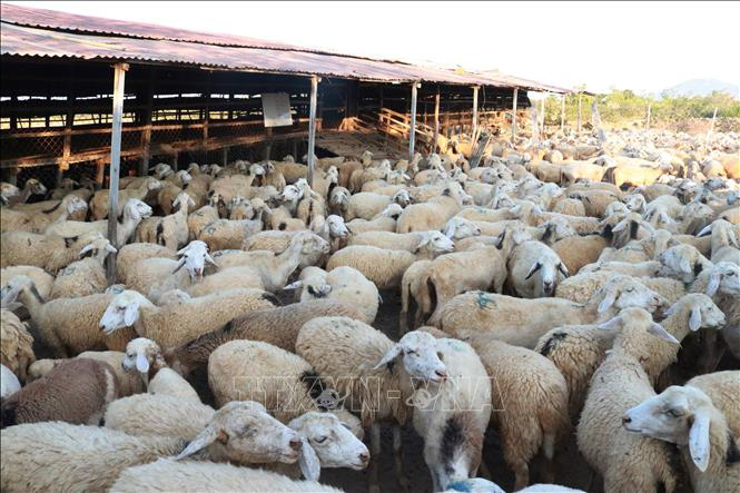 Ninh Thuận: Giá dê, cừu liên tục tăng cao, người chăn nuôi phấn khởi - Ảnh 1.