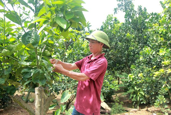 Tuyên Quang: Ông tỷ phú nông dân này ghép cam lên thân bưởi, hái 60 tấn quả, lãi ròng 1,2 tỷ - Ảnh 1.