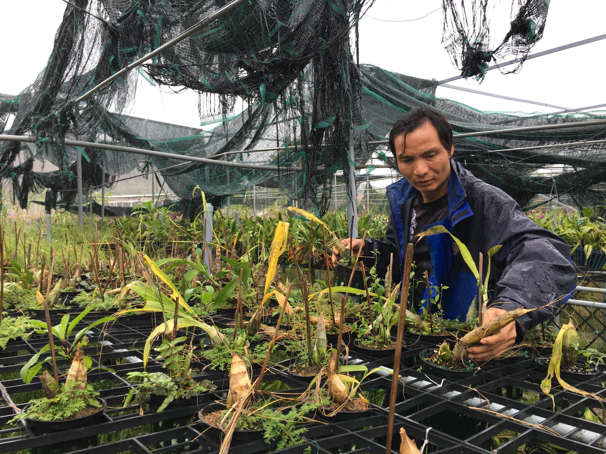 Quảng Nam: Nông dân trồng lan trắng tay sau bão, lũ - Ảnh 1.