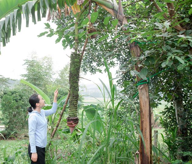 Hà Tĩnh: Dân cả 1 vùng kéo đến xem buồng chuối hơn 100 nải ở Hương Sơn - Ảnh 1.