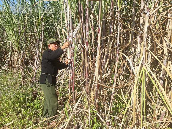 Điều tra chống bán phá sản phẩm mía đường có xuất xứ từ Thái Lan  - Ảnh 1.