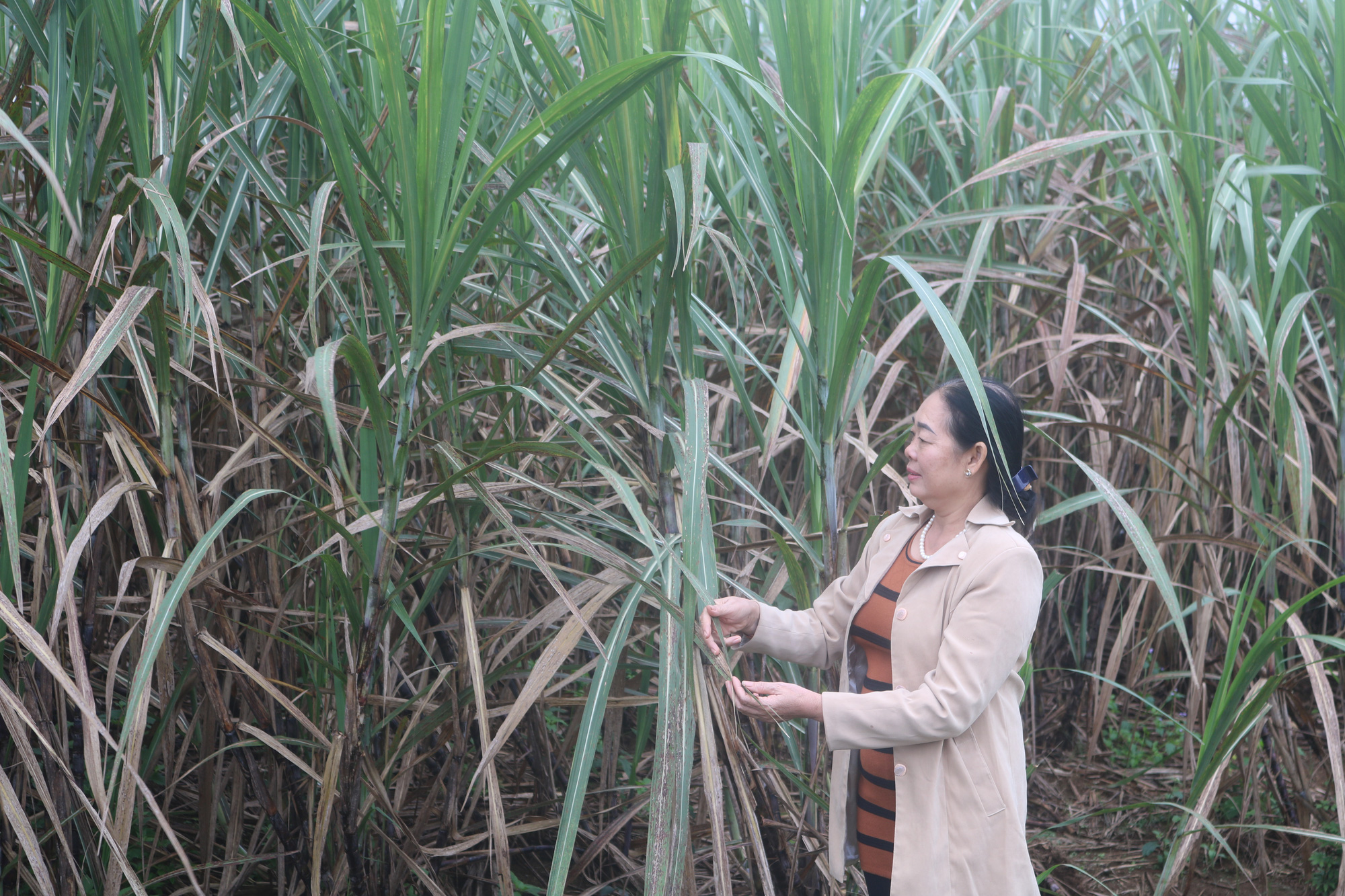 Điều tra chống bán phá sản phẩm mía đường có xuất xứ từ Thái Lan  - Ảnh 3.