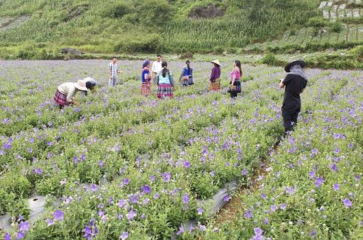 Lào Cai: Cát cánh là cây gì mà hoa rất đẹp, người Mông nhổ lên bán thu về tiền tỷ?  - Ảnh 4.