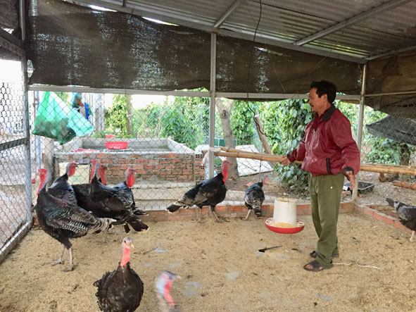 """Đắk Lắk: Nuôi thứ gà """"tác phong lừ đừ"""" ăn cỏ như trâu, mào dài thõng thượt, bán 1 con to thu gần 2 triệu - Ảnh 1."""