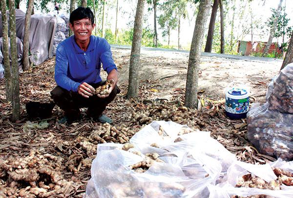 Kiên Giang: Trồng thứ cây ra củ vừa thơm vừa cay, 1 công đất đào 10 tấn củ, bán nhanh được 150 triệu đồng - Ảnh 1.