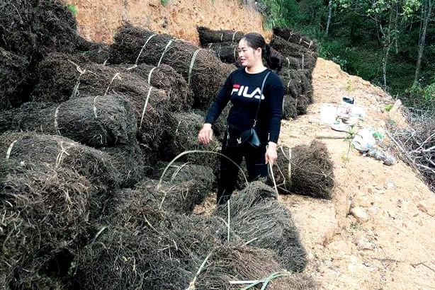 """Lạng Sơn: Trao 6 mã số vùng trồng cho 60 ha """"cây trăm tỷ""""  - Ảnh 2."""