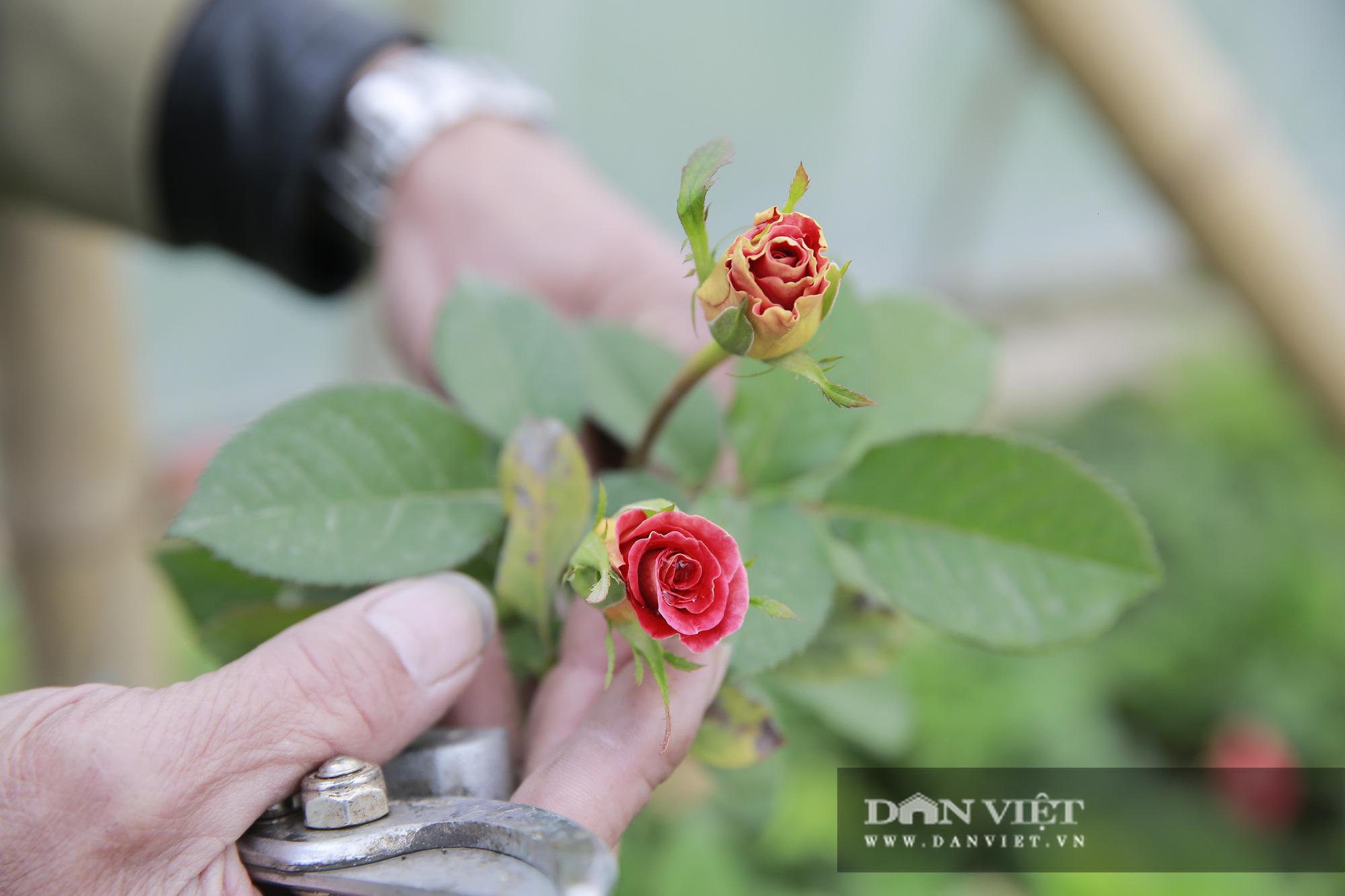 """Người trồng hoa Tây Tựu """"lạc quan"""" trước thời tiết giá lạnh - Ảnh 5."""