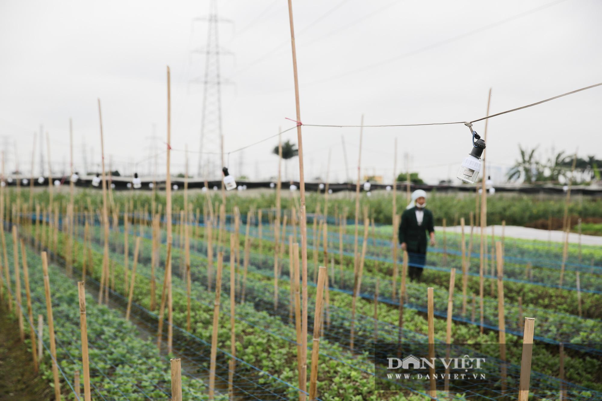 """Người trồng hoa Tây Tựu """"lạc quan"""" trước thời tiết giá lạnh - Ảnh 6."""