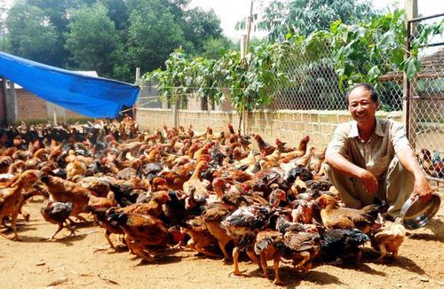 """Bình Định thống nhất đề nghị tặng Huân chương Lao động hạng Ba cho nông dân nuôi gà số lượng """"khủng"""" - Ảnh 1."""