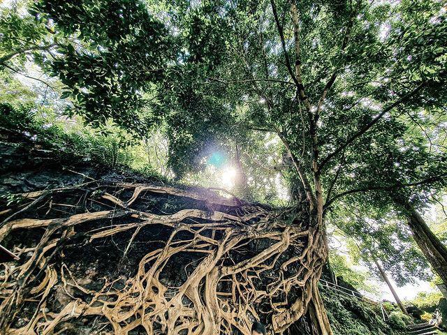 """Cây si cổ thụ có bộ rễ """"khủng"""" hút du khách tới chụp ảnh ở Đắk Lắk - Ảnh 2."""