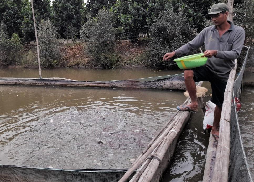 An Giang: Thả 1.500 con cá nàng hai trong vèo, bên ngoài thả thêm 2.000 cá sặc rằn, ông nông dân lãi khá - Ảnh 1.