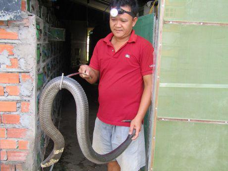 Sóc Trăng: Ông tỷ phú nông dân nuôi nhiều rắn hổ mang to bự nhất miền Tây - Ảnh 1.